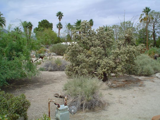 Cholla, creosote bush and twiggy, shrubby perennials are too-often bulldozed off land in preparation for new homes.