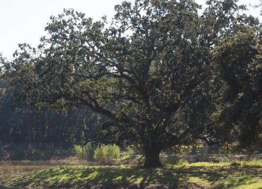 Olive Road tree 2