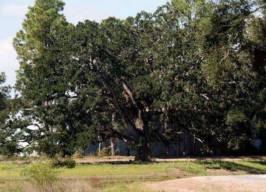 Olive Road tree 1