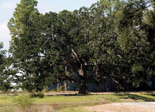 "Escambia County Commissioners plan to discuss the county's tree ordinance at their December Committee of the Whole meeting. This tree along Olive Road was saved because it qualified as a protected ""heritage tree"" under the ordinance."