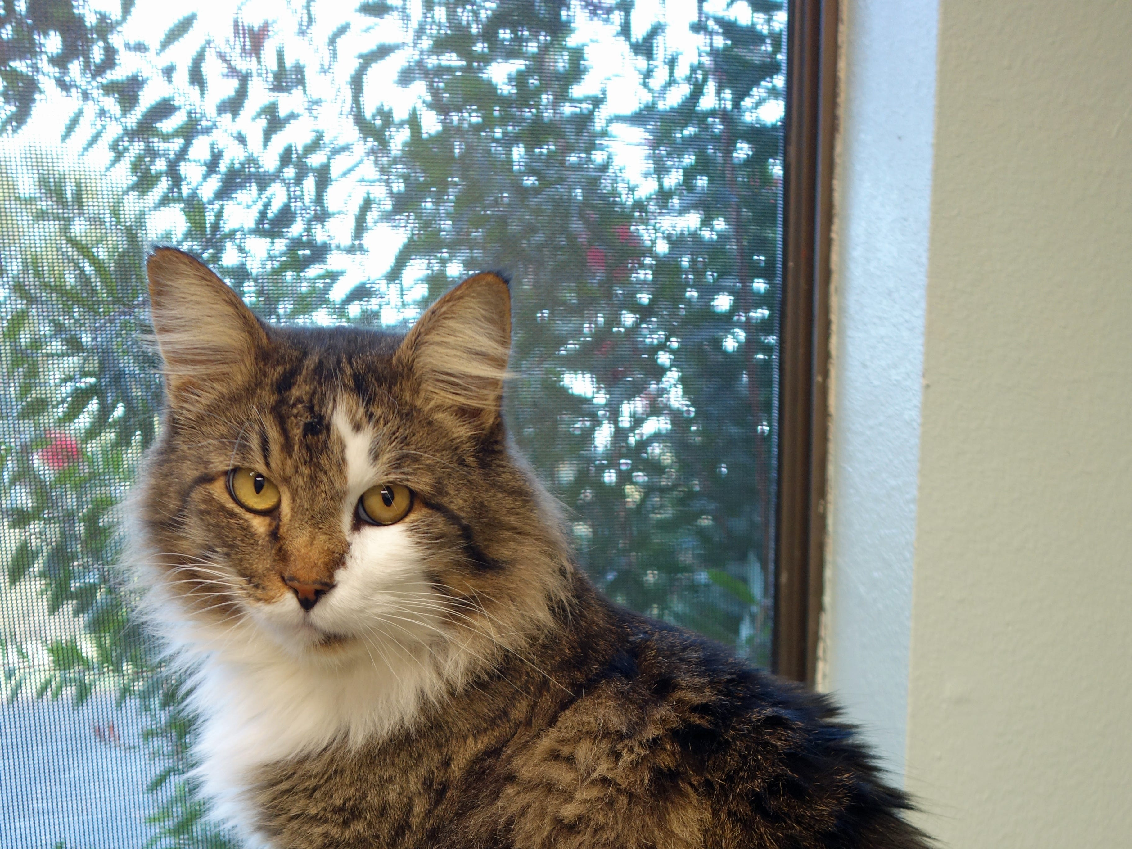 Sir Francis Drake is a silky, soft, long-haired male cat with white and tabby markings. He's a lap cat who loves attention. He's a mellow fellow who gets along well with other cats. Email Spay Neuter and Protect at Snap.spayneuterandprotect@gmail.com. Call 209-6966.