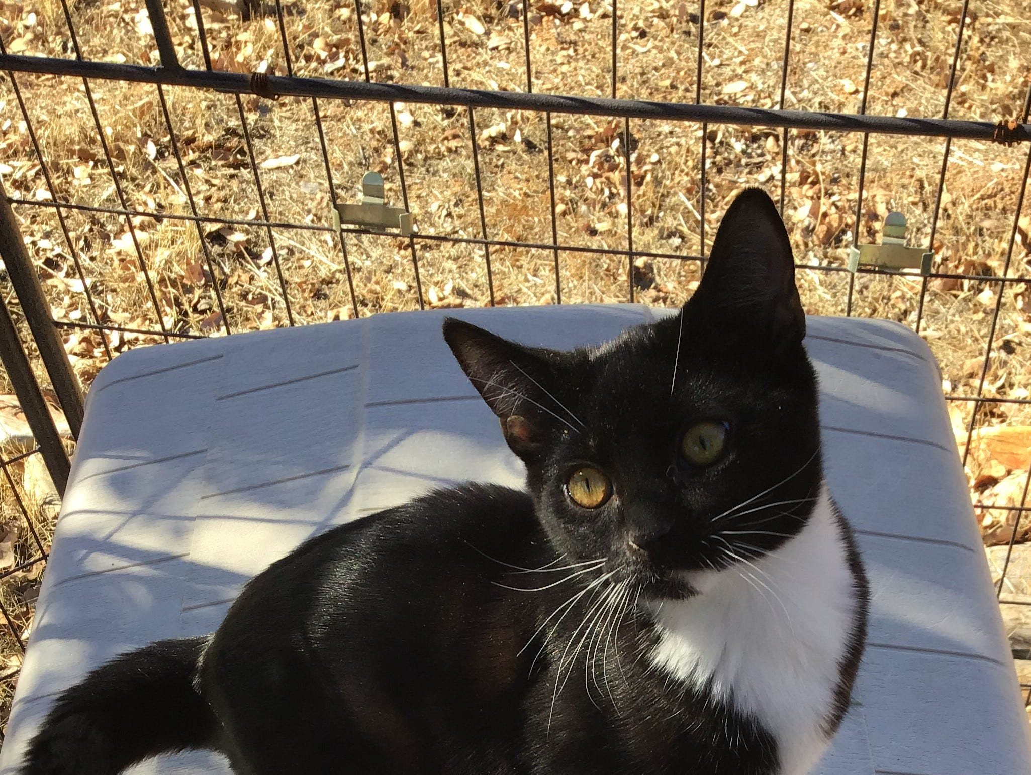 Macchiato is a 5-month-old, friendly and playful female kitten. She has siblings who are also up for adoption. Raining Cats N Dogs adoptions include spay/neuter services, vaccines and vetting as needed. Call 232-6299. Go to http://rainingcatsndogs.rescuegroups.org.