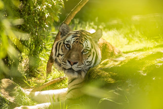Endangered Amur tiger Mikhail, Mik for short, seen in this photograph from the Oregon Zoo has passed away just shy of his 20th birthday from a decline in health related to his advanced age.