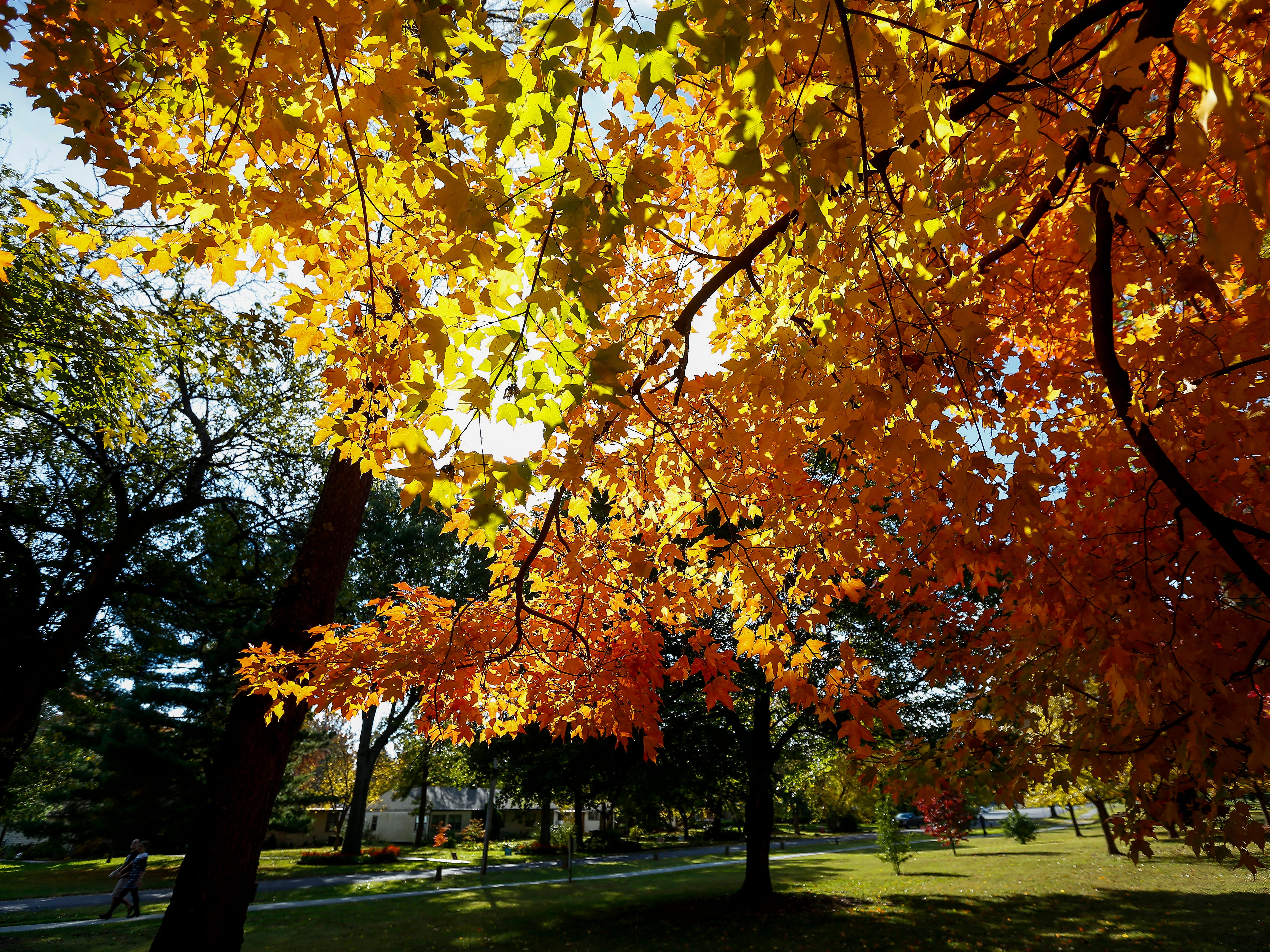Some of the trees at Phelps Grove Park are glowing with color on Tuesday, Oct. 30, 2018.