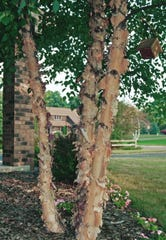 River birch, a tree available in Leon County's Adopt-a-Tree Program, has bark that peels off in papery, film like curls.