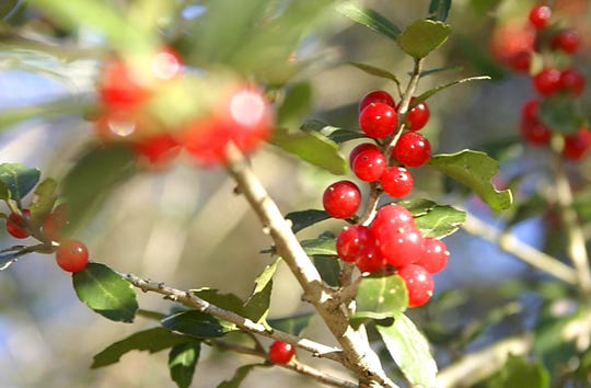 Yaupon Holly at Native Nursery on Centerville Road has many berries.