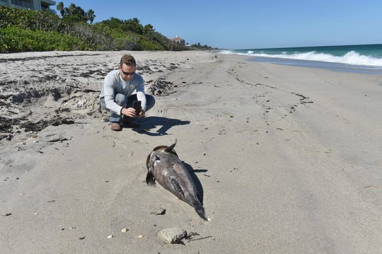 """Jim Chalmers, of Blue Dog Rentals in Vero Beach, photographs the remains of a large grouper along the shoreline just north of Tracking Station Beachfront Park, while managing a group of day laborers  cleaning the beach of dead fish killed by red tide on Tuesday, Oct. 30, 2018, in Indian River County. """"We're on the back end of the cleanup, things are going smoothly,"""" Chalmers said. """"Fortunately we have not seen a lot of large marine life, considering the scale of all the small marine life. We're taking care of it (cleanup) step by step."""""""