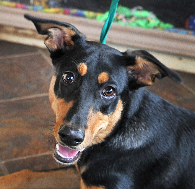 Sidney is a 6-month-old, Doberman/Shepard-mix, female that is looking for her forever home. She is friendly, good with other dogs, and loves to play fetch. You can find Sidney with her friends at the Wichita County Humane Society.