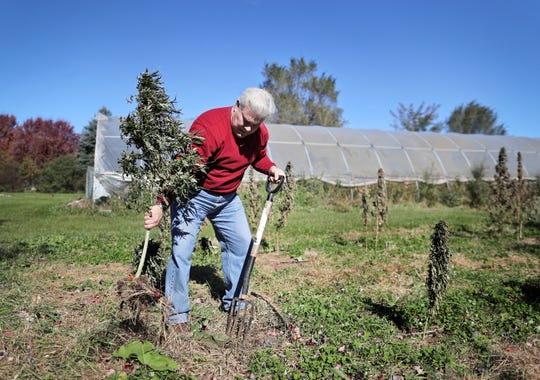 Perry Brown, executive director at Michael Fields Agricultural Institute, harvest industrial hemp plants from their research plot in East Troy, Wis., in October 2018.