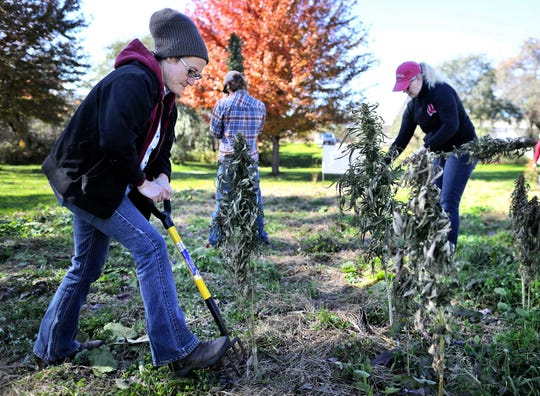 Michael Fields Agricultural Institute employees Allison Pratt-Szeliga, left, Shannah Schmitt, right, and Jakob Rose, behind, harvest industrial hemp from their research plot located at their location in East Troy, Wis., on Tuesday, Oct. 23, 2018.