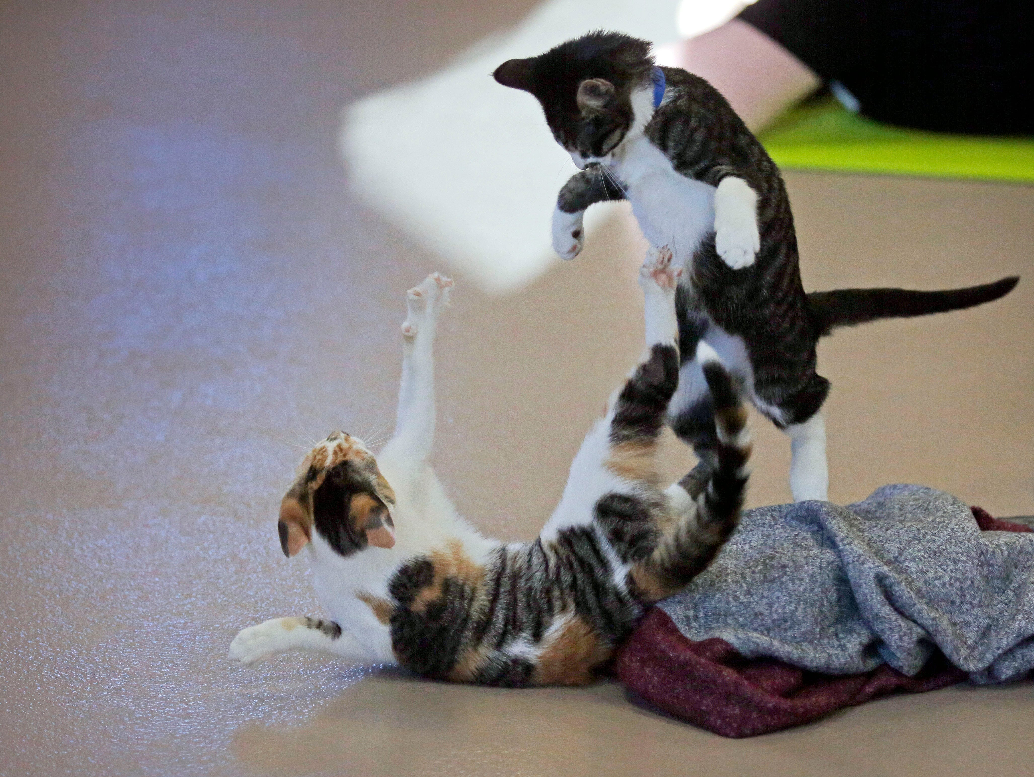 Kittens play during class as the Fox Valley Humane Association and Grace Under Fire Yoga bring together adoptable kittens and yoga class for Kitten Yoga Saturday, October 13, 2018, at the Fox Valley Humane Association in Appleton, Wis.Ron Page/USA TODAY NETWORK-Wisconsin