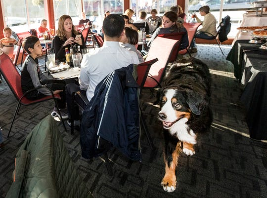 Stella, an 8-year-old Bernese Mountain Dog, makes her way around the restaurant bearing her name during a birthday party in her honor at Stella's Black Dog Tavern in Plymouth, on Monday, Oct. 22, 2018.