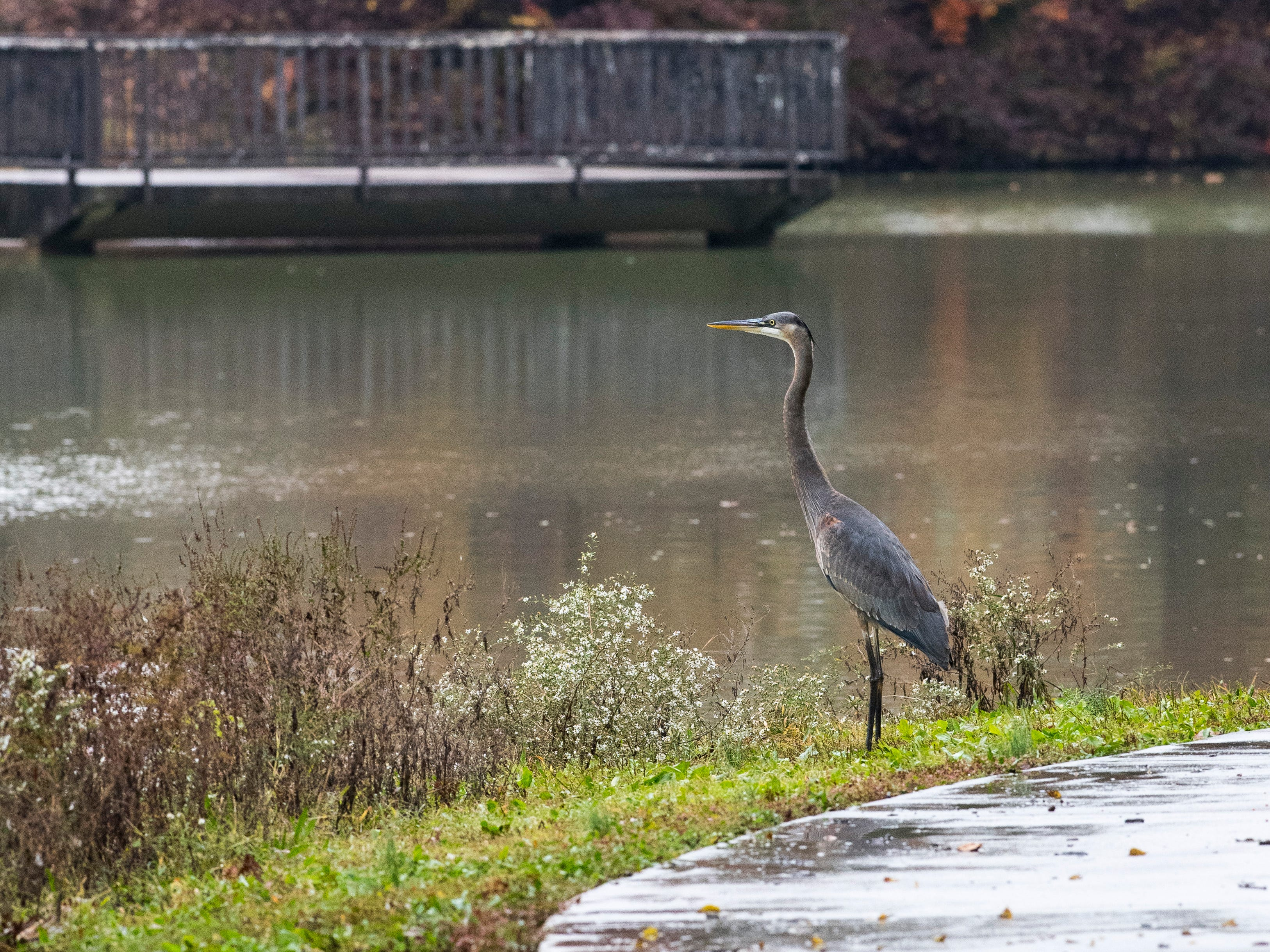 A Great Blue Heron stands on the edge of Evansmeer Lake in Garvin Park Wednesday morning Oct. 31, 2018.