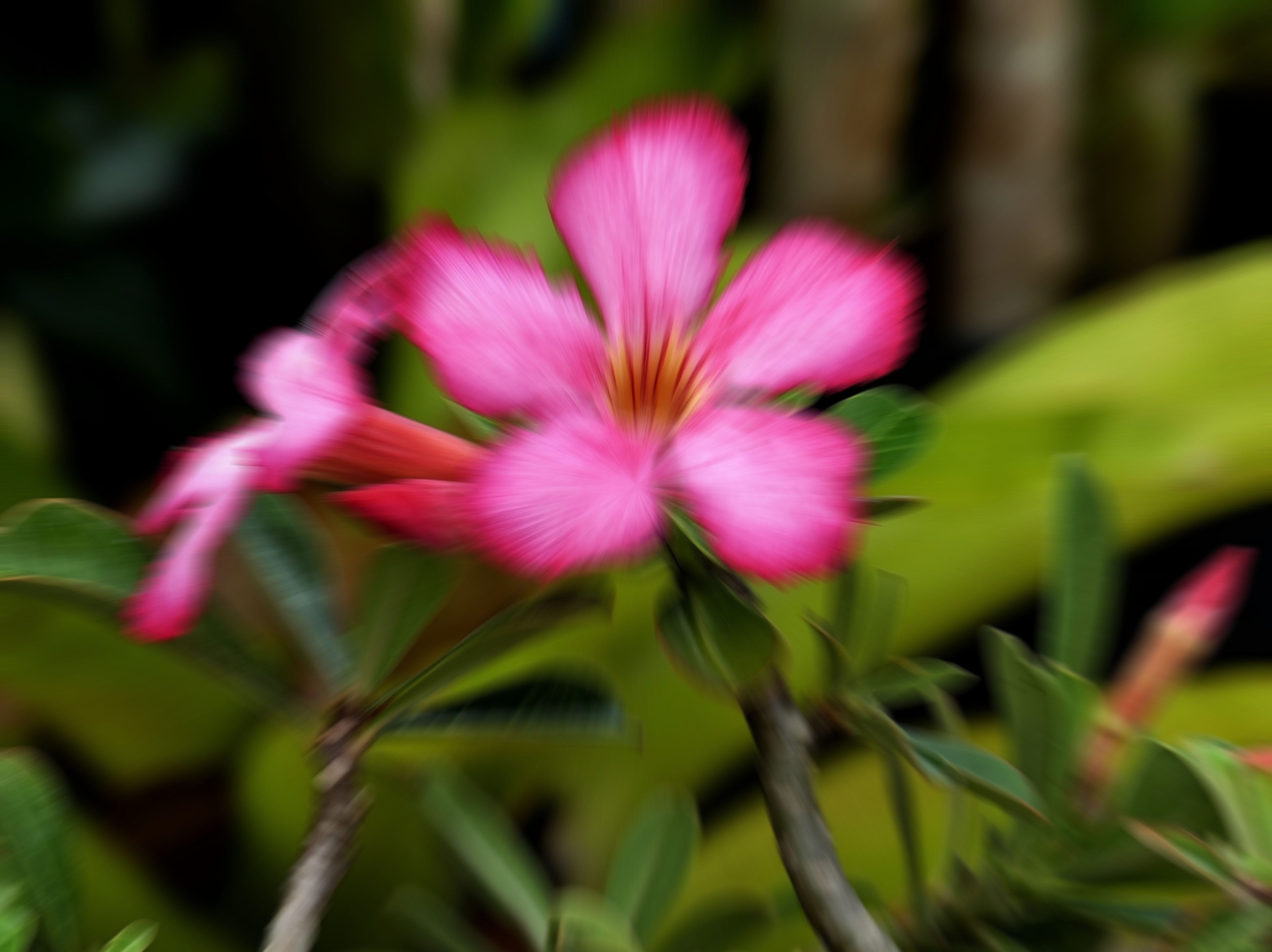 "Steve Rimar of Estero writes, ""this is a desert rose that we have at our home in Cascades ...  it really is a beautiful flower."