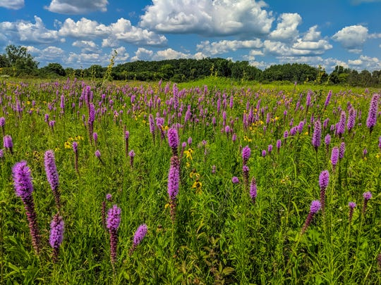 Native prairie plants blossom at Bluff Creek State Natural Area in Walworth County. A controlled burn was conducted on the section of the public property several months earlier and was funded by donations to the Cherish Wisconsin Outdoors Fund.