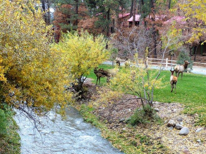 Members of an elk herd sample the bushes and enjoy the rushing waters of the Rio Ruidoso.