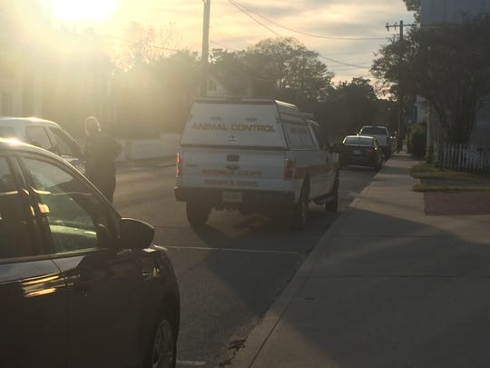 An animal Control officer was patrolling downtown Onancock on Halloween evening in search of a reported rabid fox spotted in the area.
