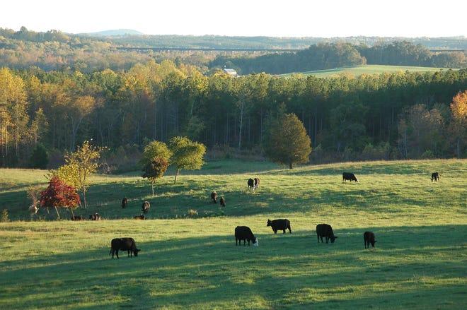 Cows graze in a field near Farmville, VA. (Royalty Free photo via Creative Commons 3.0. Please credit Woodfin Ligon)