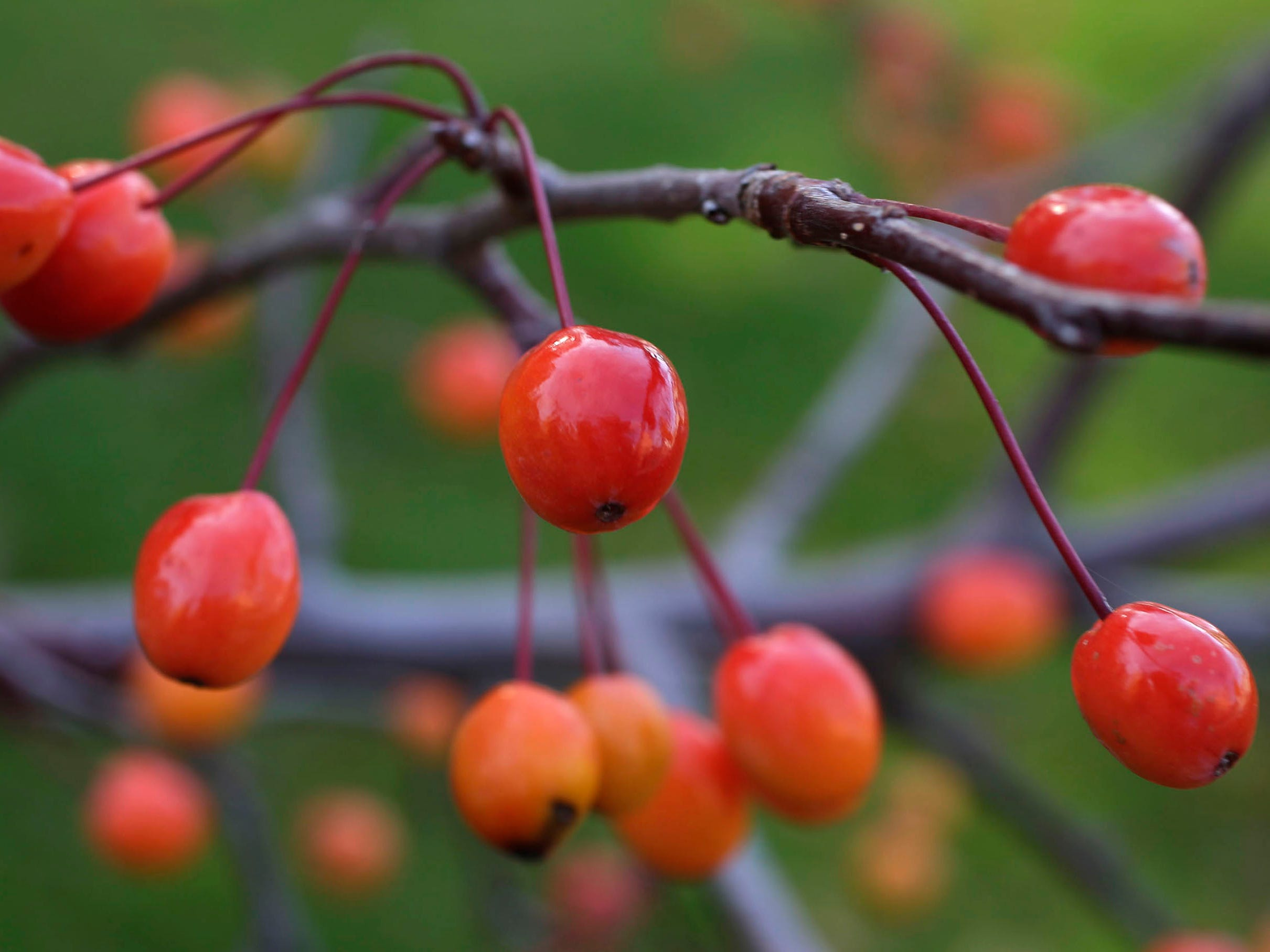 Tiny crab apples are the only items left on branches of a flowering crab tree, Wednesday, October 31, 2018, in Sheboygan, Wis.