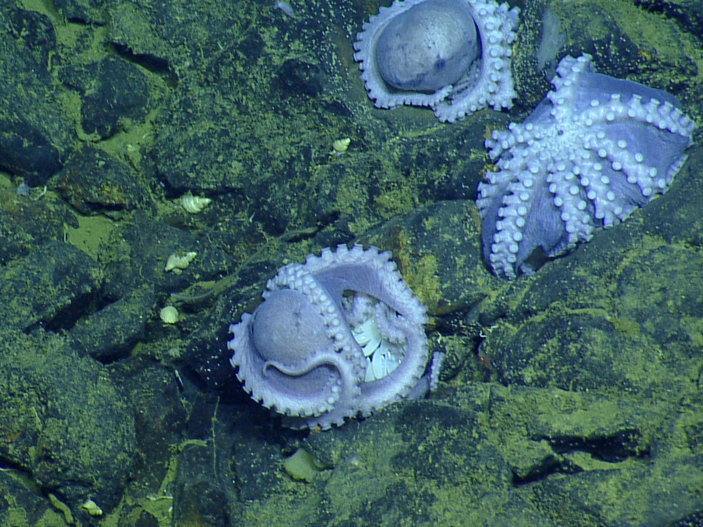 The aggregation of octopuses seen on the first dive consisted mostly of females brooding their eggs. The octopus nearest the center has her white eggs glistening among her arms.