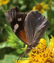 The American Snout Butterfly, another migrating butterfly through the North Texas area, was captured in a photo during the Third Annual Annual Texas Pollinator BioBlitz.
