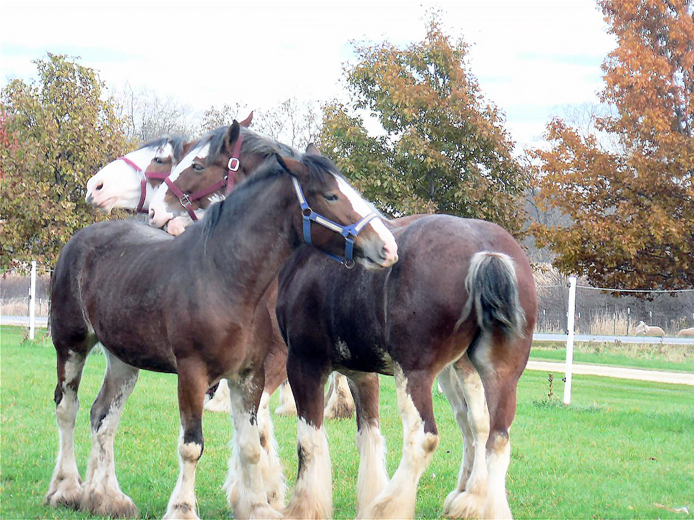 Three Clydesdales at the Airgood pasture in Marshall.