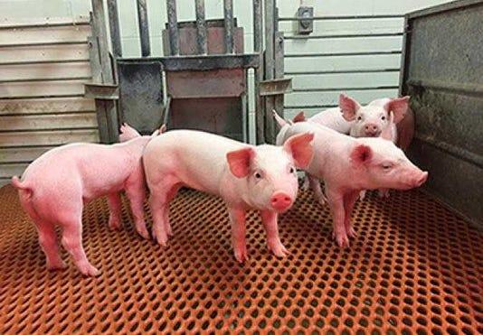 Tgev Resistant Pigs Web