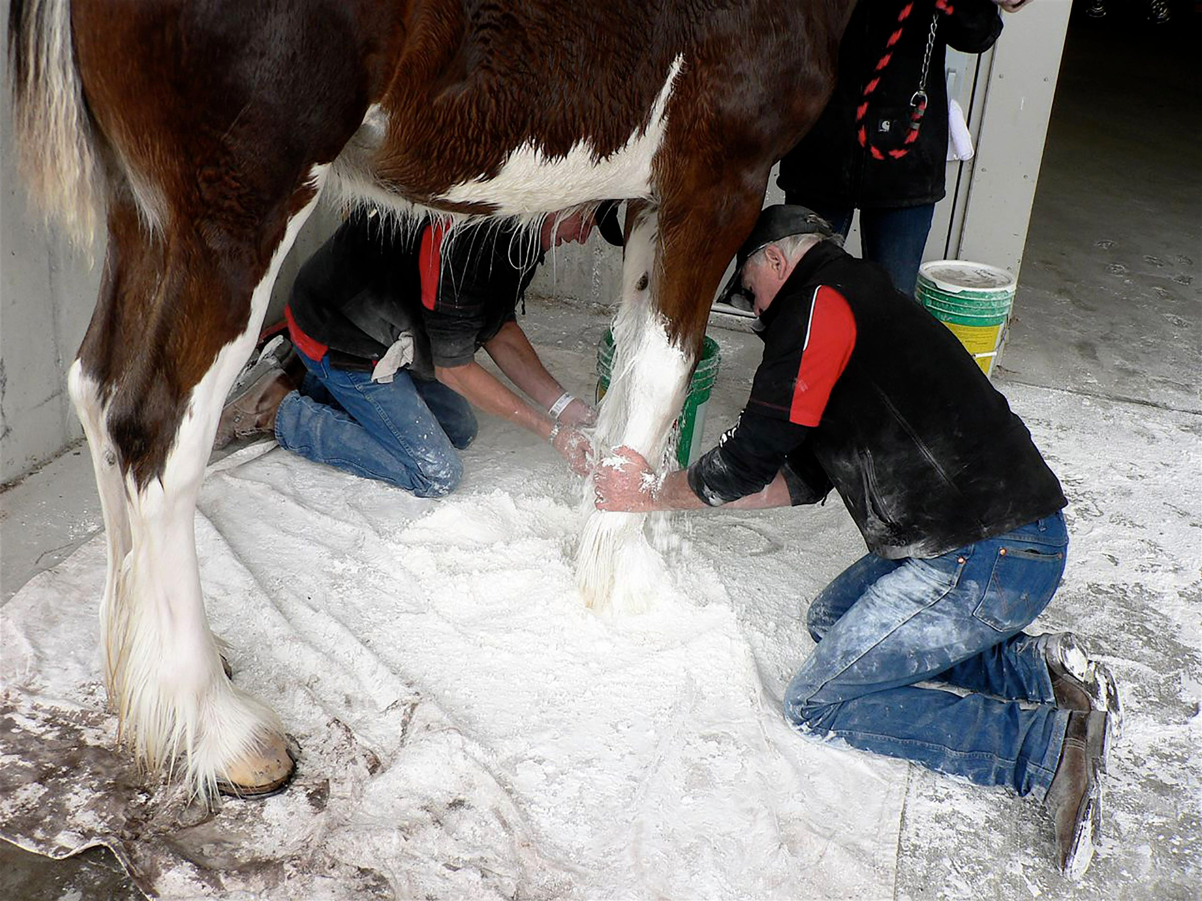 Cornstarch helps dry the long hair on the legs and makes it whiter in color after the horse is washed.
