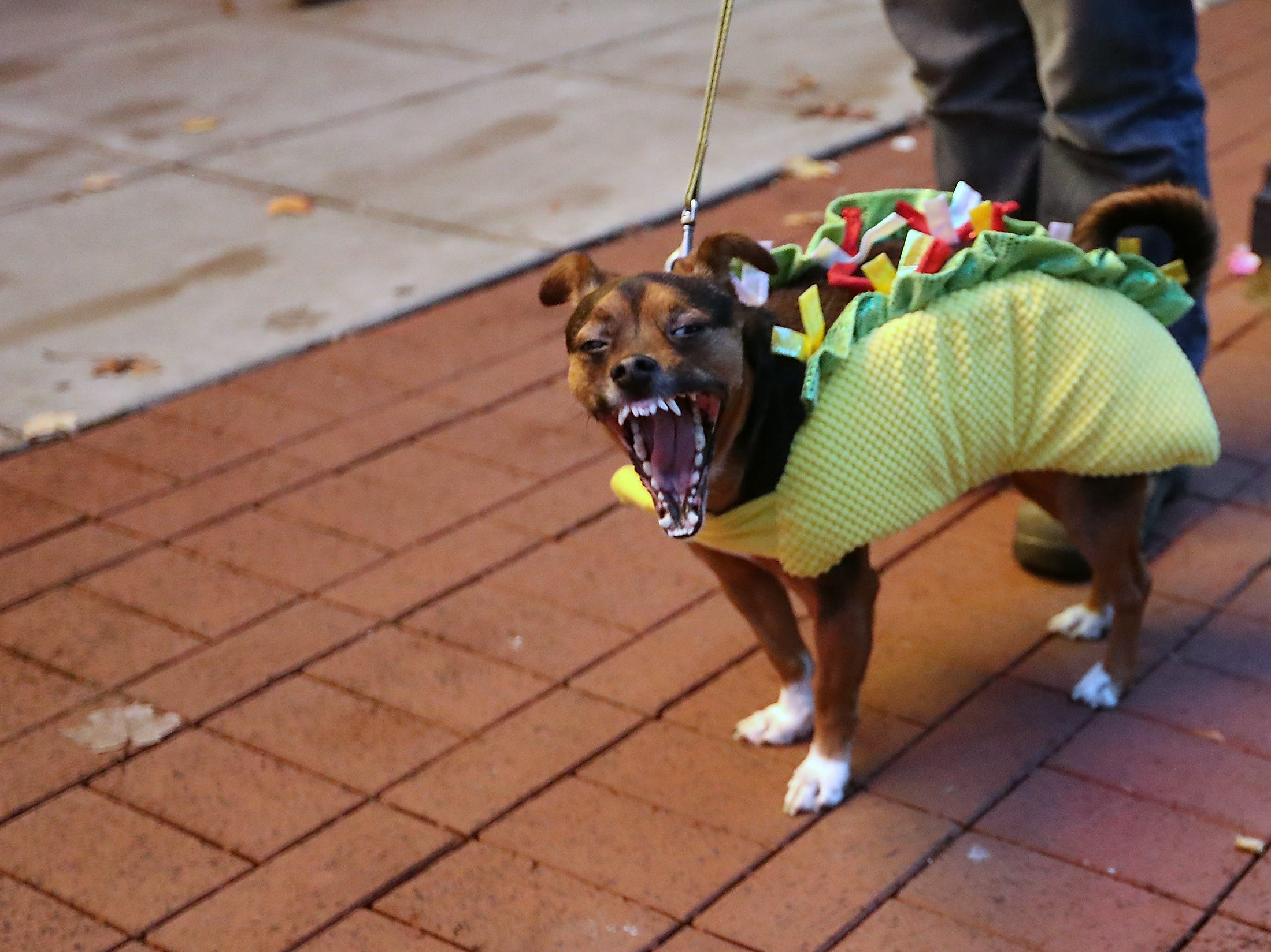 A dog dressed as a taco gives a big yawn during Downtown Bremerton's Trick or Treat Street on Wednesday, October 31, 2018.