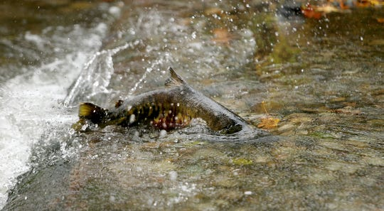 A Yakama tribal member is accused of fishing in Suquamish Tribe's waters with an invalid permit and selling more than 5,000 pounds of chum salmon he caught using a gill net. He faces charges in Kitsap County Superior Court.