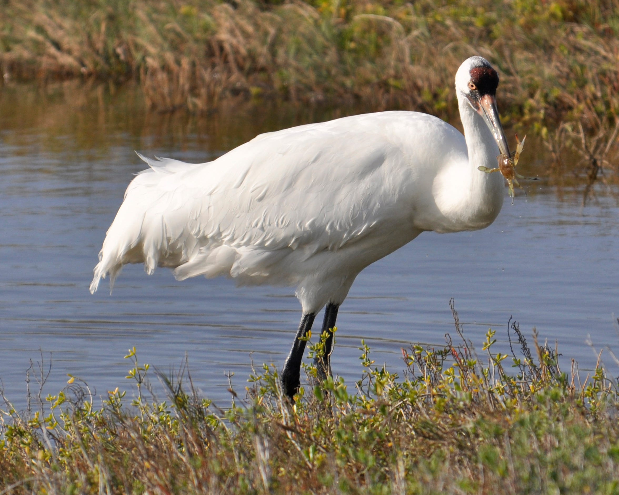 A dozen or more whooping cranes have been spotted in the Aransas National Wildlife Refuge in October.