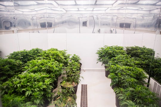Cannabis plants grow in Iowa's first facility for producing medical-marijuana products, MedPharm Iowa, during their ribbon cutting event on Thursday, Nov. 1, 2018, in Des Moines.