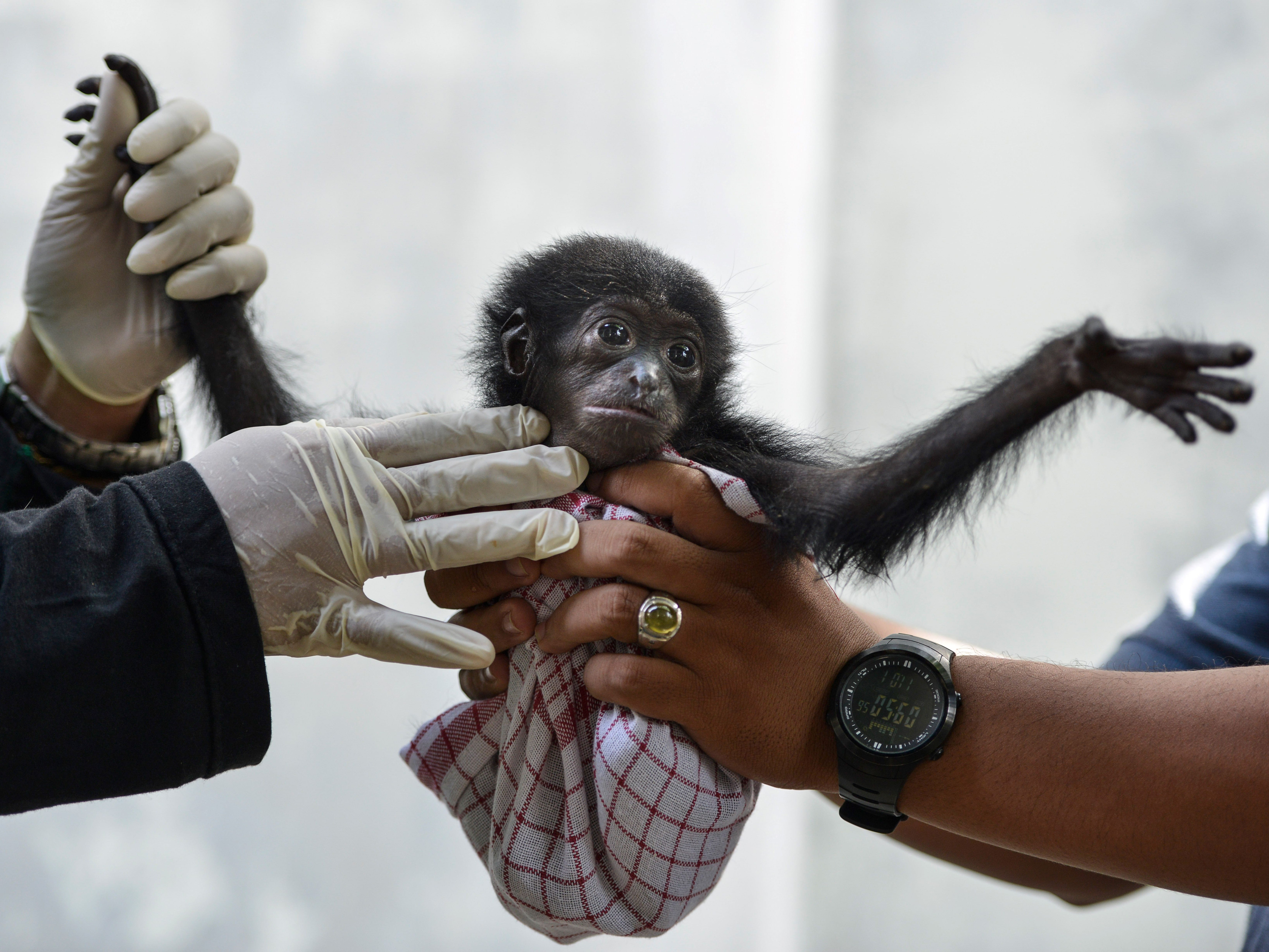 Vets check a baby siamang, or black-furred gibbon, rescued from a villager, at the local nature conservation agency's office in Banda Aceh, Aceh province of Indonesia on November 1, 2018.