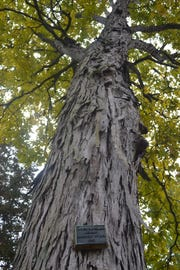 A plaque commemorating President Grover Cleveland's visit to Spiegel Grove hangs from this shagbark hickory tree on the front lawn of the Hayes Home.
