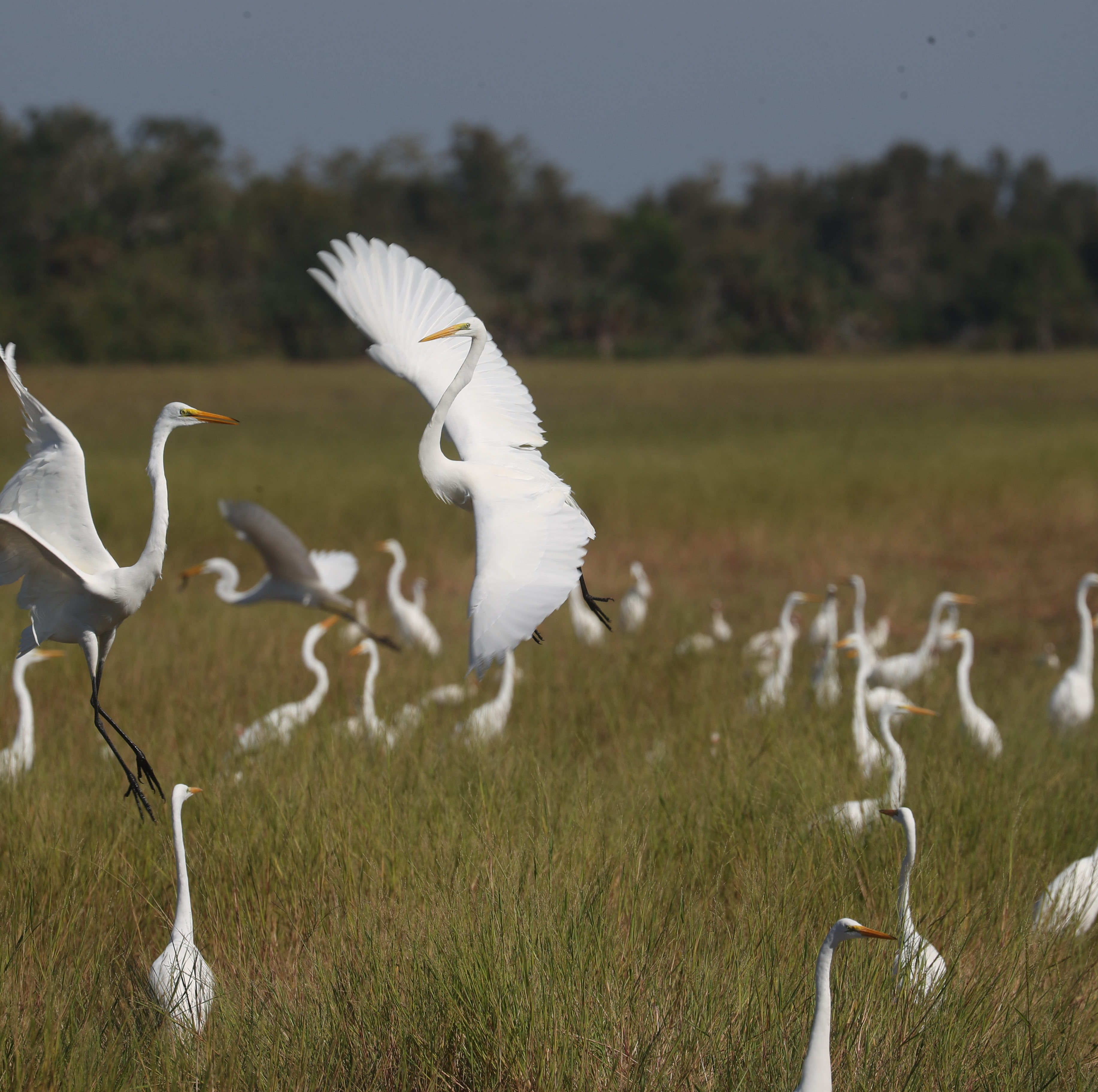 Ibis or egret? How to tell Southwest Florida's white birds apart