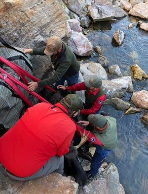 In this Oct. 22, 2018 photo provided by the Wyoming Game and Fish Department, game managers rescue a young bull moose that became trapped in a canyon where food was becoming scarce near Cody, Wyo. Wyoming Game and Fish Department spokeswoman Tara Hodges says after several weeks of monitoring by a wildlife biologist, staff used a crane from a nearby power plant to lift the moose from the Shoshone River canyon. The Cody Enterprise reports that the yearling moose was relocated to a more suitable area west of Meeteetse. (Wyoming Game and Fish Department via AP)