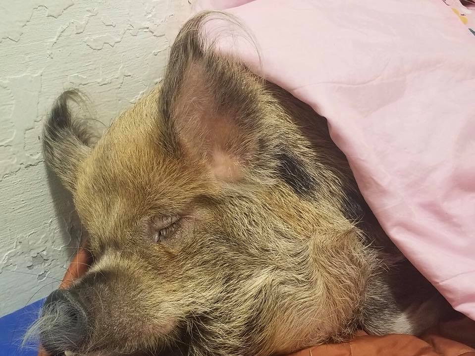 After a dental procedure at UT Veterinary Medical Center, Spoon was on bed rest for the rest of the day.