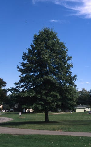 This mature northern red oak tree was started form an acorn in 1968. It is now 80 feet tall and a prize specimen in an open space where it can fully develop.