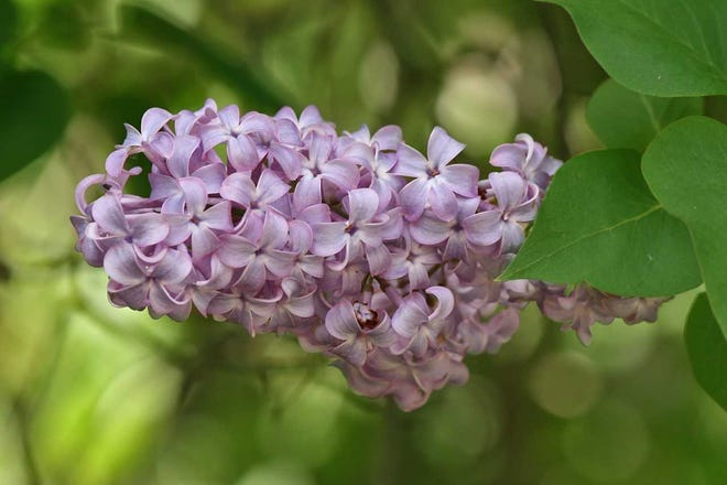 Lilac inflorescence (flower cluster)