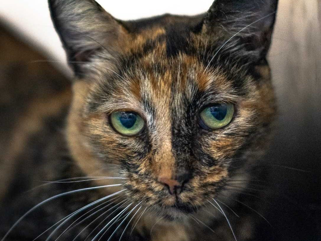 Miss Moody - Female (spayed) domestic short hair, about 10 years old. Intake date: 7-17-2018