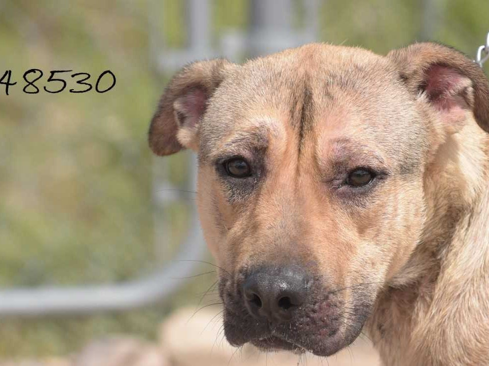 Naria - Female (spayed) shepherd mix, about 1 year old. Intake date: 5-12-2018