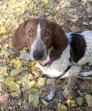 Maggie is one of two beagle-mix dogs at OAHS. They are looking for their forever home.
