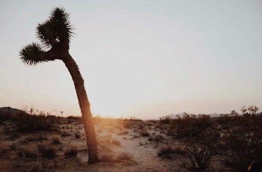 A Joshua tree at dusk in the high desert