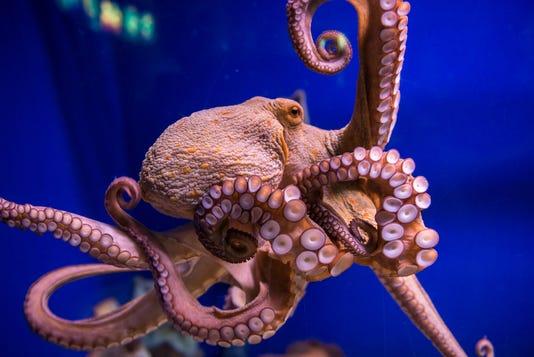 Octopus In Aquarium