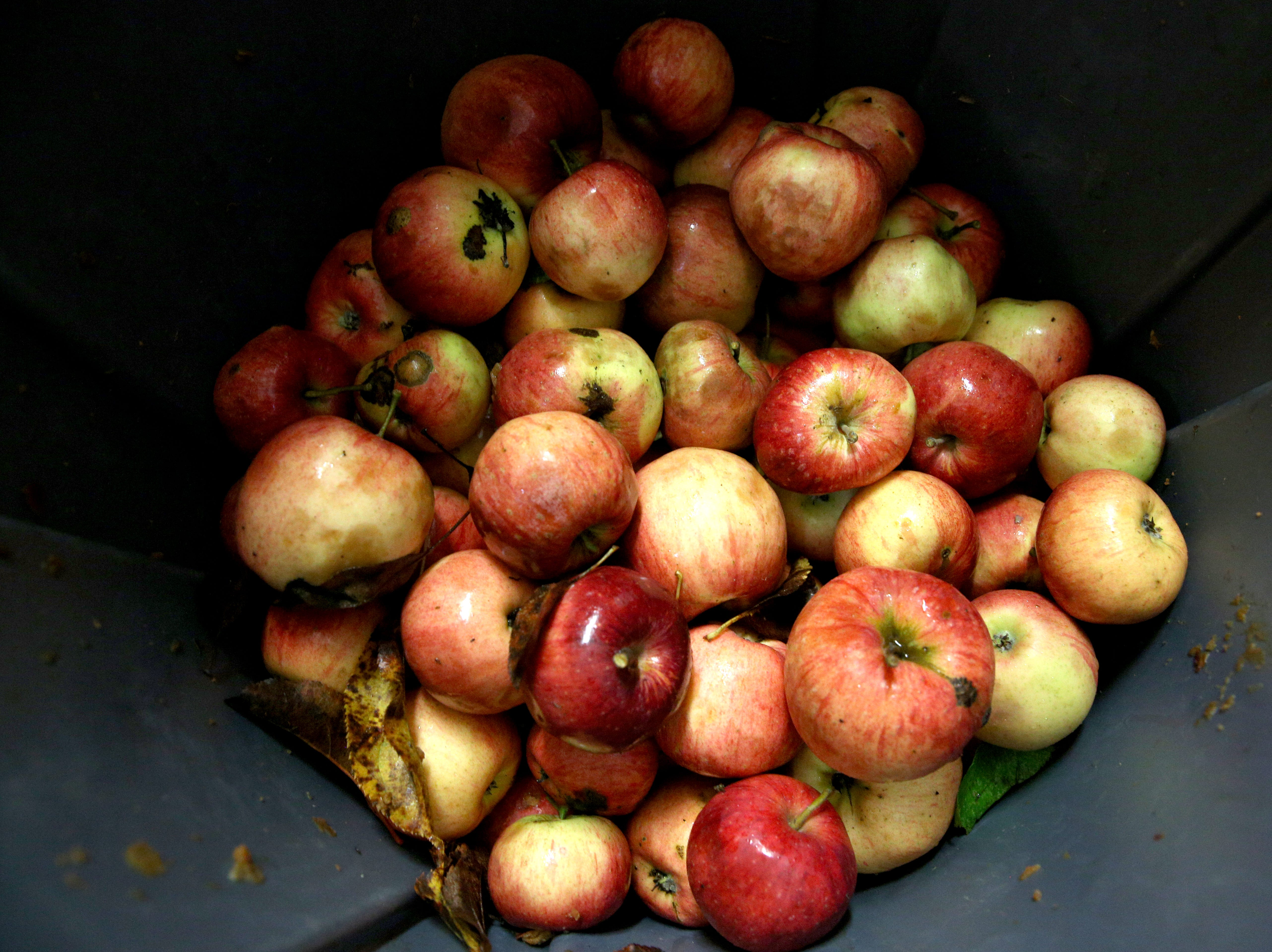 Apples at Divine Distillers are pictured on Wednesday, Oct. 31, 2018 on the last day they are processed for their award-winning apple brandy. The apples are grown locally in Salem.