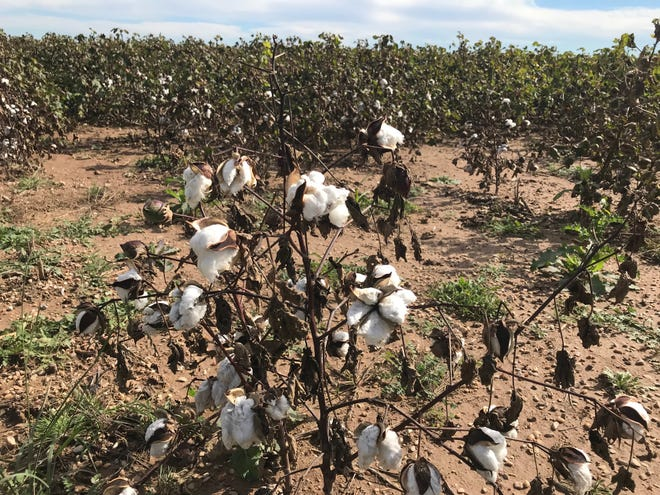 Cotton in a field near San Angelo awaits harvesting after record rains delay normal production.