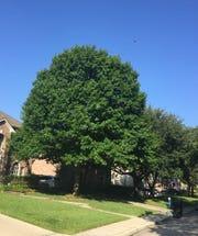Jeanie Miley's tree.