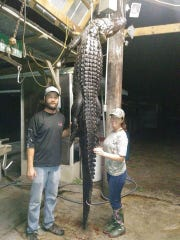 Richard Hunt and Erin Merryman with the 10-foot, 8-inch alligator they hunted in early October out of Kenansville lake in western Indian River County.