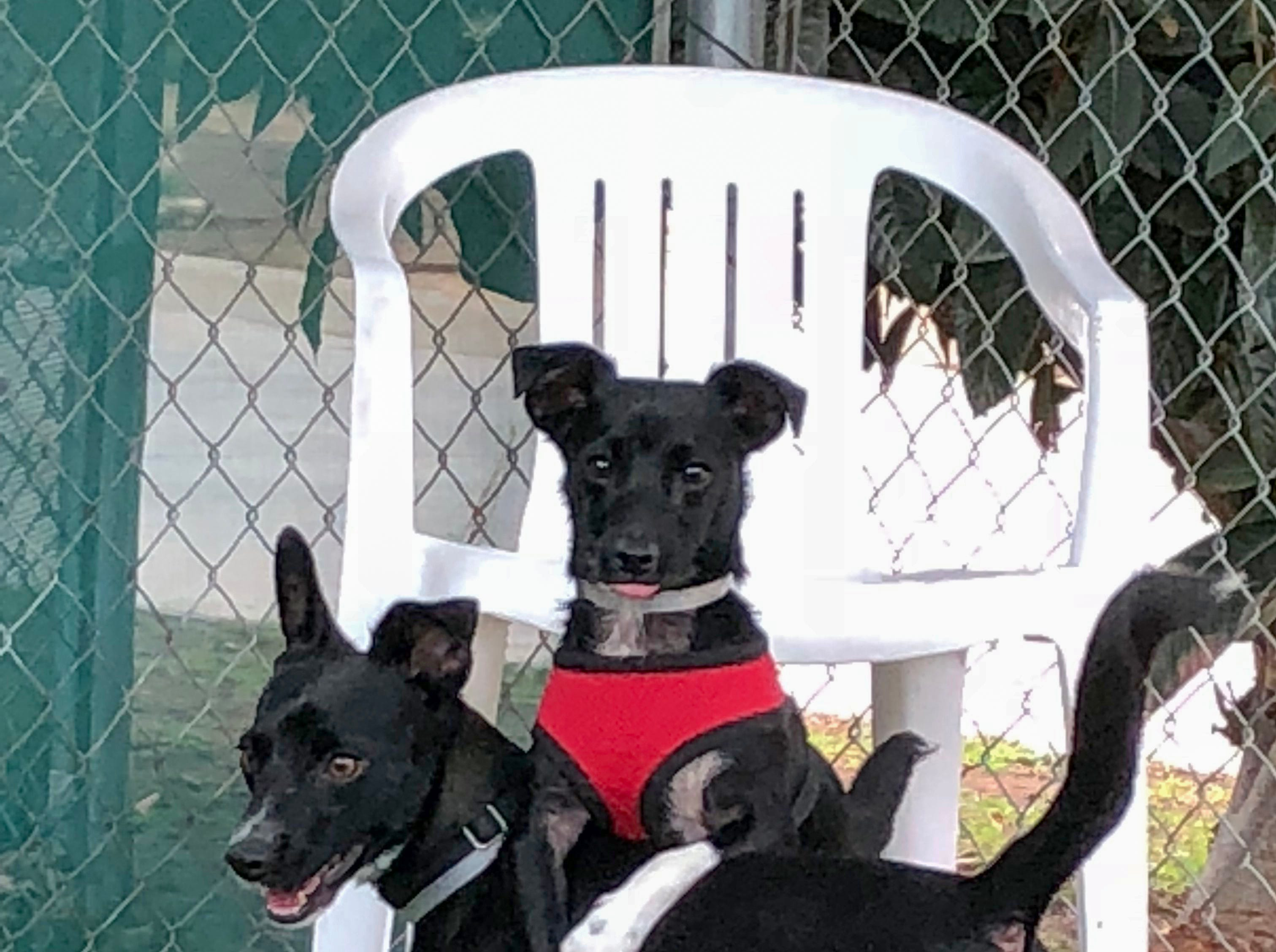 Cute as can be, but a little shy in new situations, Ajax and Sidney are best friends that can be adopted as a pair or separately. Given time, they warm up to strangers and become playful and affectionate. Both appear to be house-trained. They may need a little work to build their confidence, but they are worth the effort spent and will eagerly return the love that is bestowed on them. To adopt Ajax and Sidney request A5206536 and A5206535. The Agoura Hills Animal Care Center is at 29525 Agoura Road, Agoura Hills. Occasionally pets have already been adopted. To check availability, call 818-991-0071 or visit animalcare.lacounty.gov.