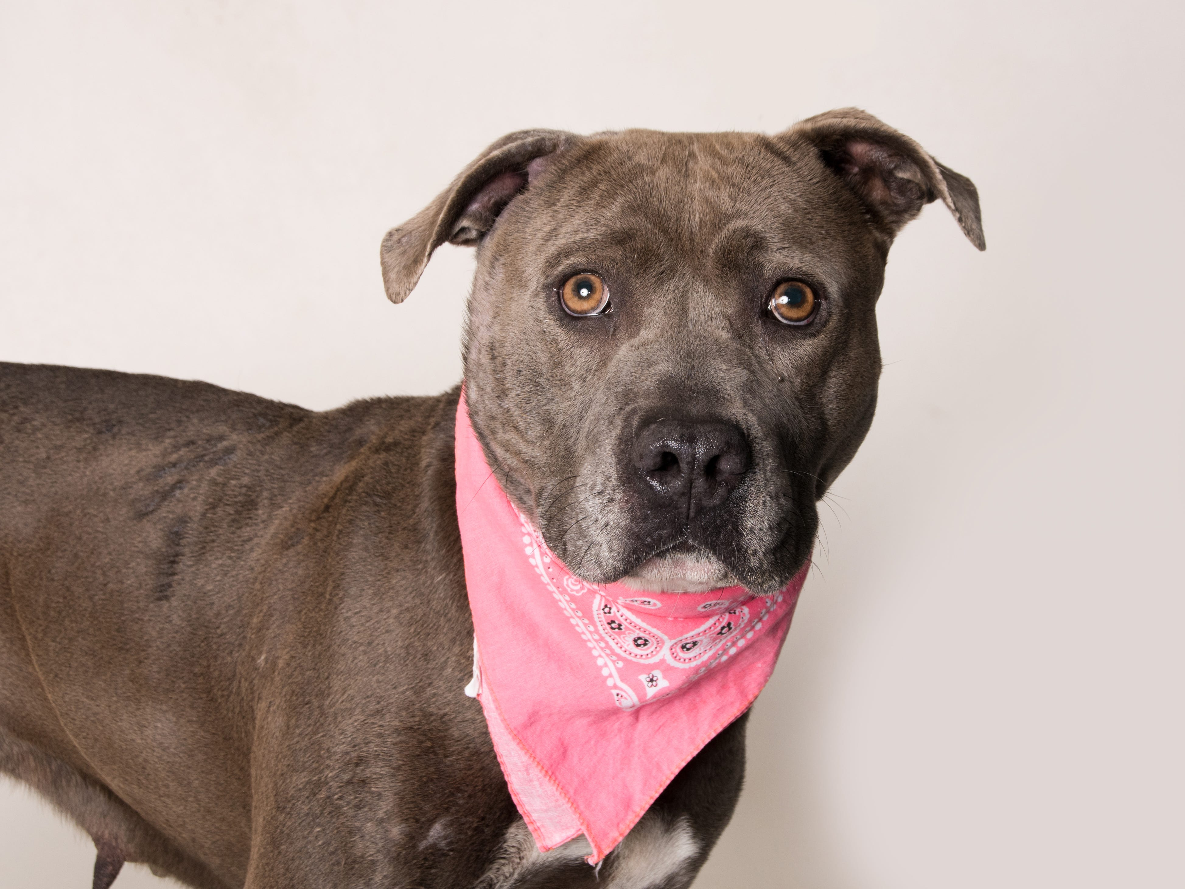 """Here are five top reasons why you need to meet Cypress: She is cute. She walks well on leash. She is treat-motivated and knows """"sit."""" She loves attention. You need her! So come meet Cypress at the Camarillo location of Ventura County Animal Services, 600 Aviation Drive. The shelter is open from 1 to 6 p.m. Tuesday through Sunday.Your new family member is waiting! For more information or to search for other animals, go to www.vcas.us."""